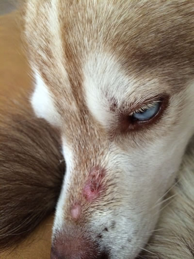 Can Mange Spread To Humans From Dogs