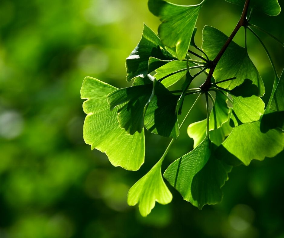 Gingko Biloba for Hearing Loss