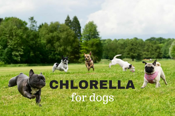 Chlorella for Dogs