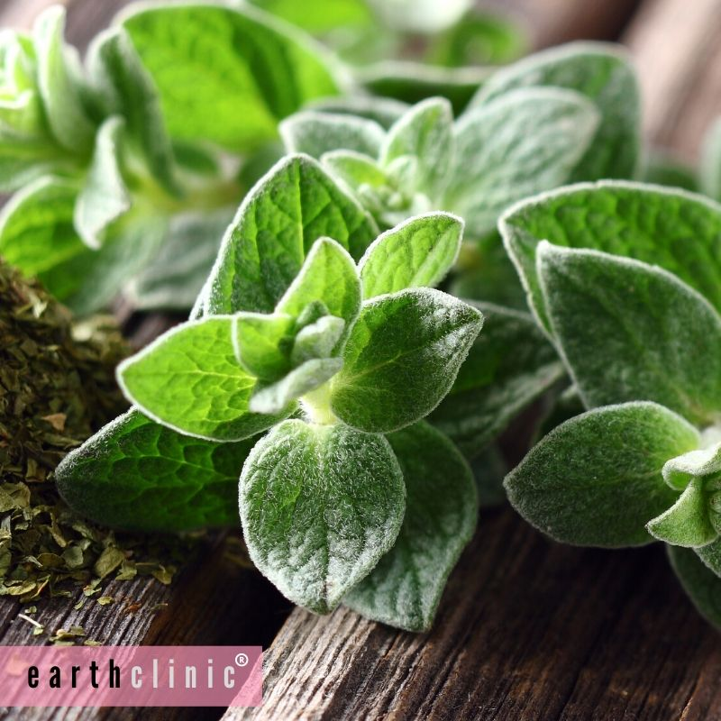Oil of Oregano for Sinus Infections