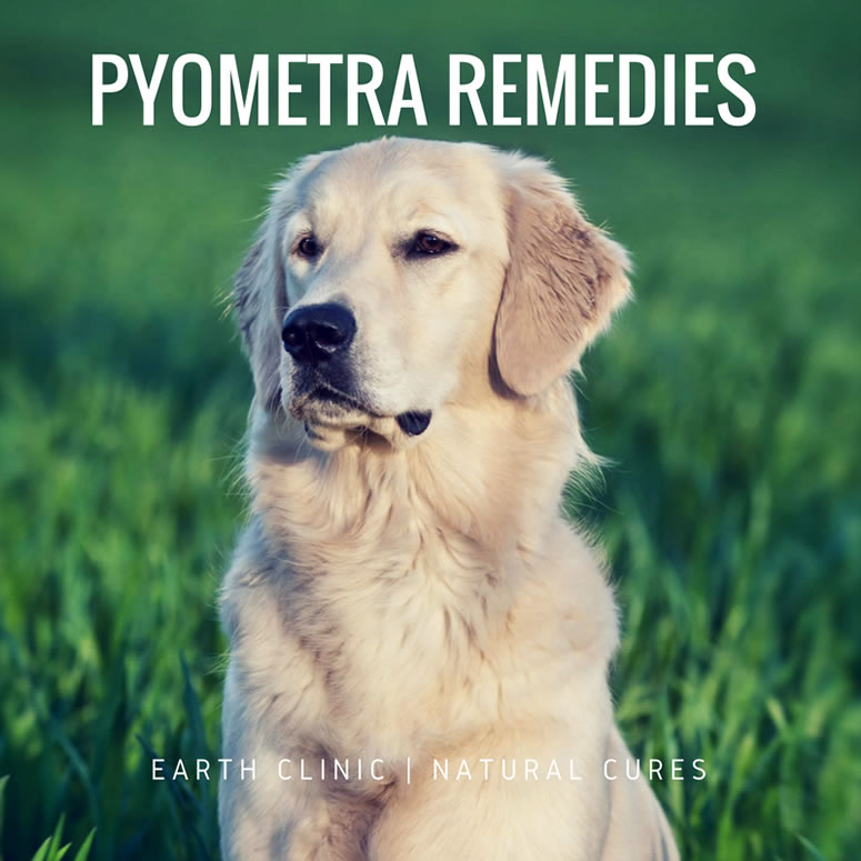 Pyometra Remedies for Dogs