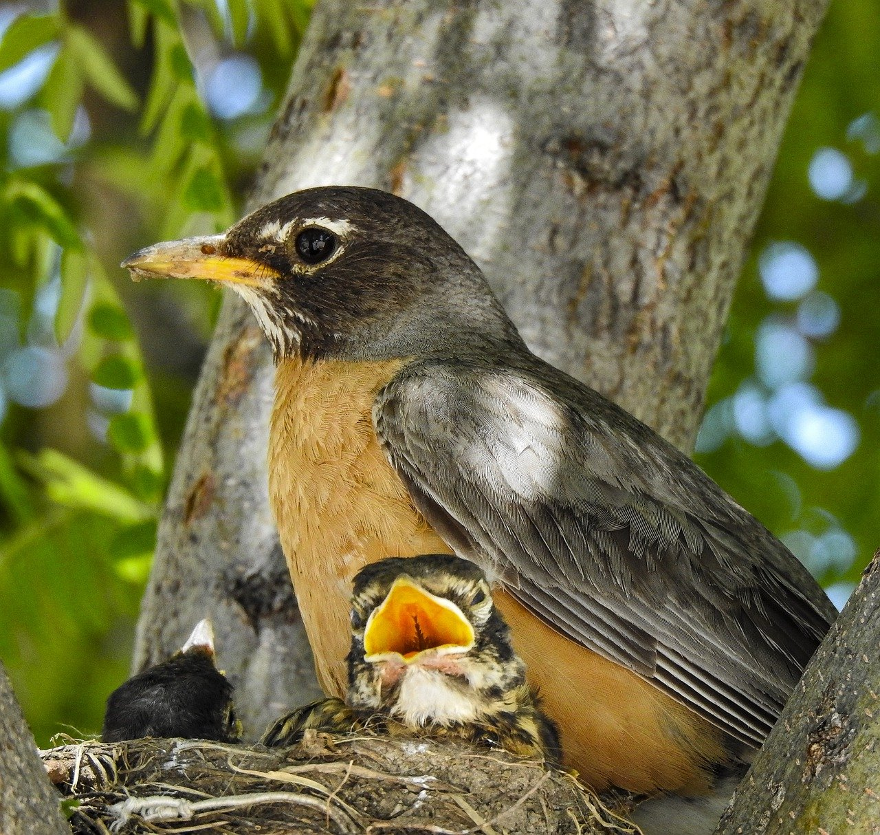 Robin with her chicks