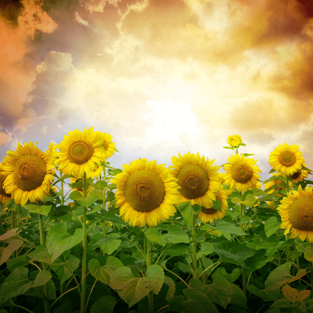 Sunflower Health Benefits on Earth Clinic.