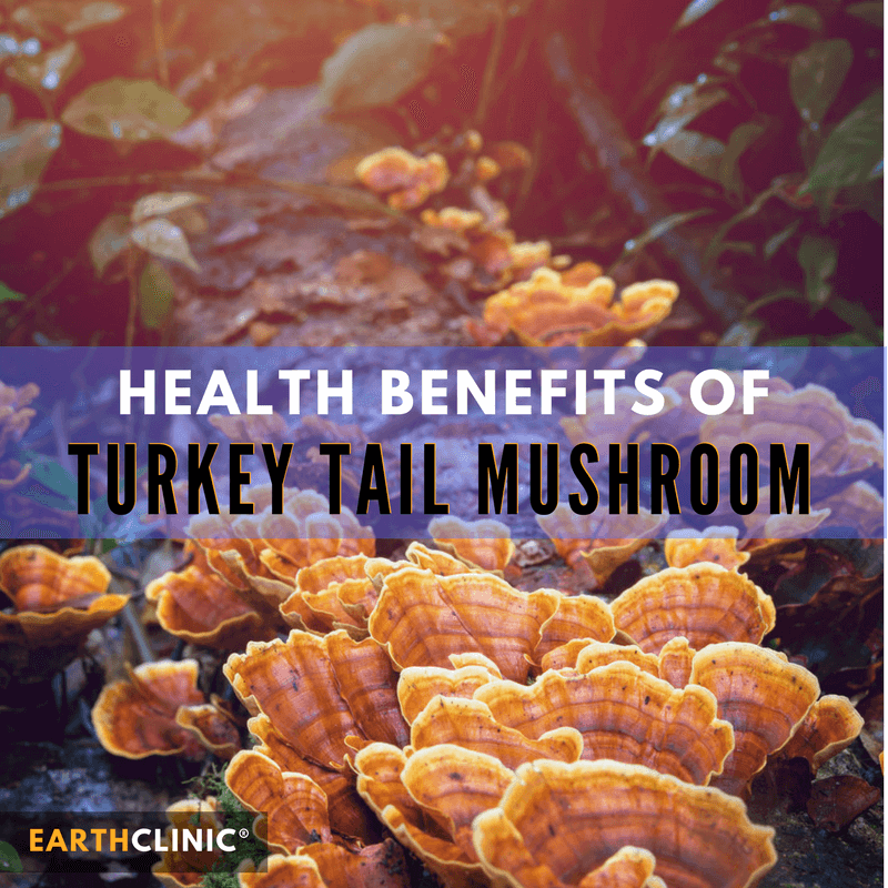 Turkey Tail Mushroom Health Benefits