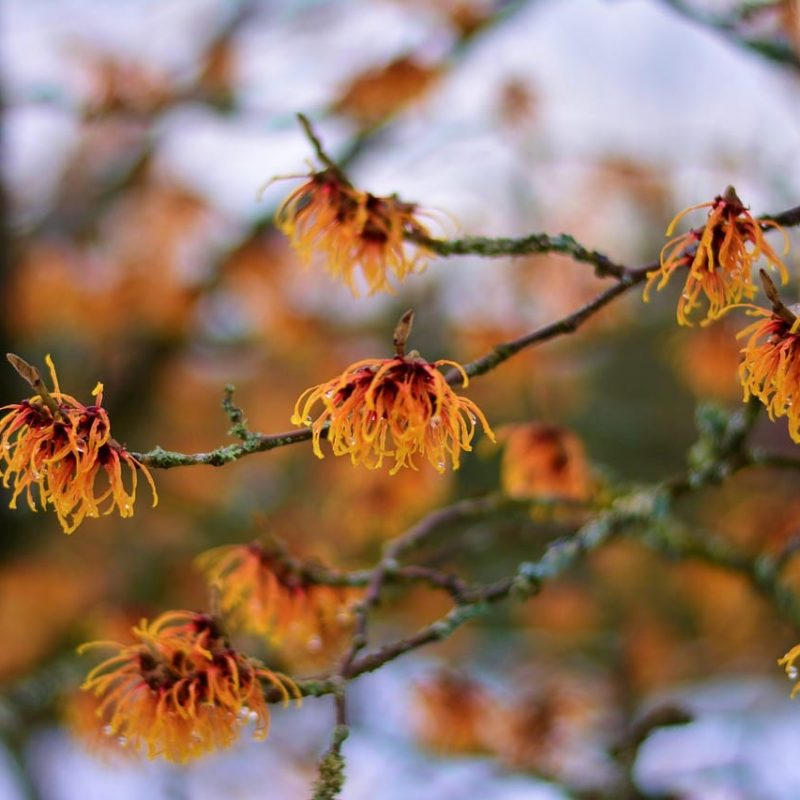 Witch Hazel remedy on Earth Clinic.