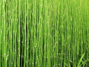 Horsetail for Dental Enamel.