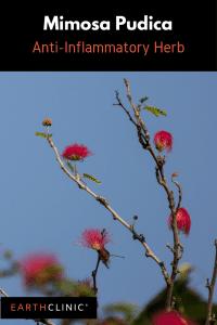 Mimosa Pudica, anti-inflammatory herb.