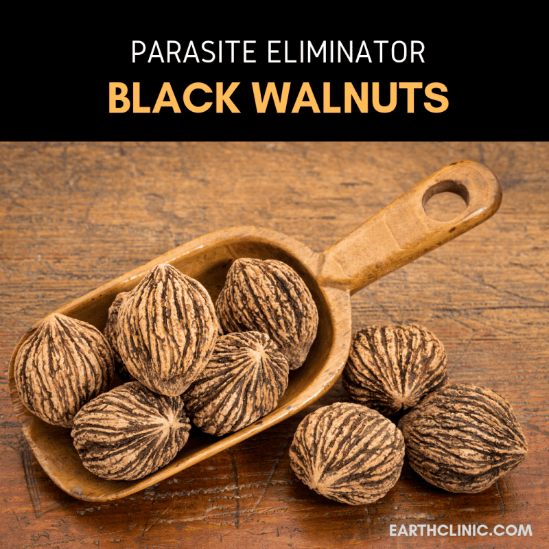Learn to use black walnut tincture for parasites.