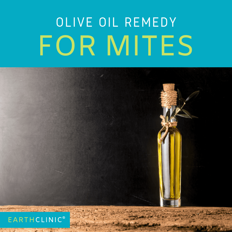 Olive Oil remedy for mite infestations