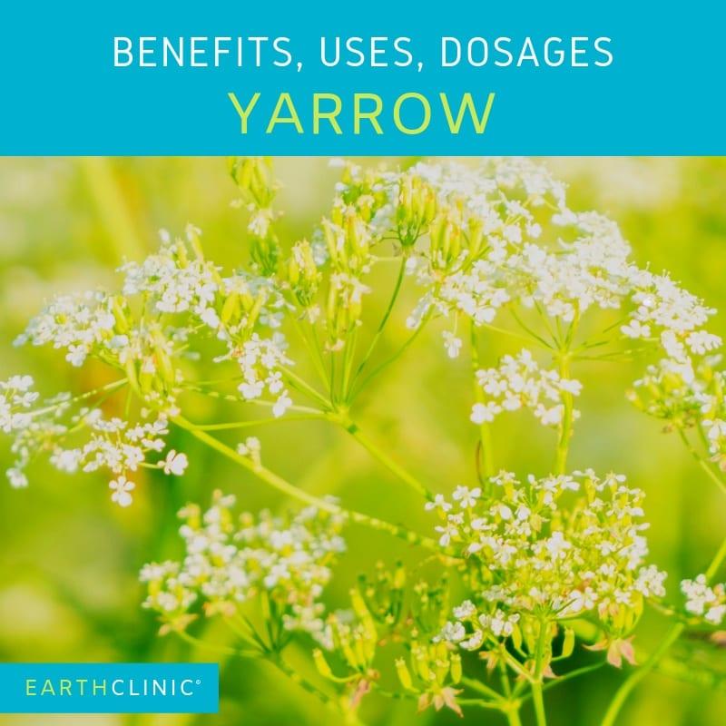 Yarrow health benefits and traditional uses.