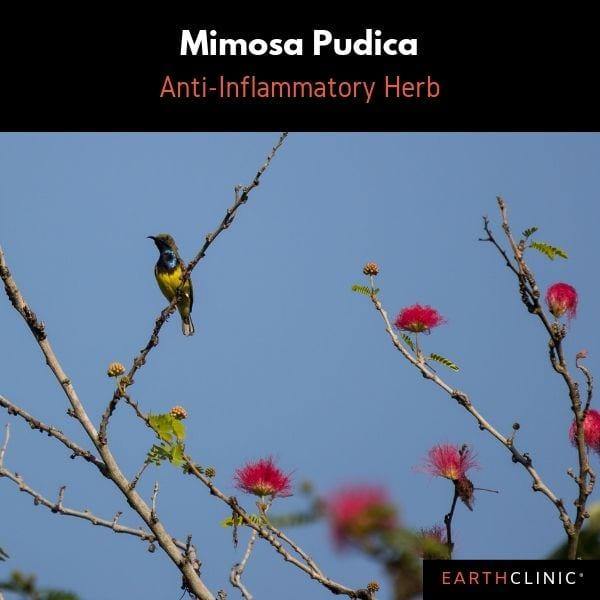 Mimopsa Pudica, top anti-inflammatory herb.